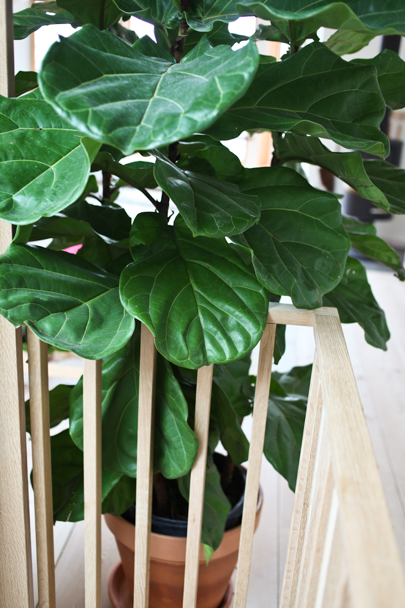 Fiddle_Leaf_Fig_Ficus-4